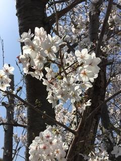 【浜松】桜★★