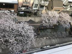 【高知】 ☆桜が満開です☆