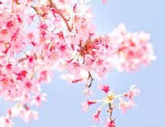 【高知】 ☆桜開花(一番乗り)☆