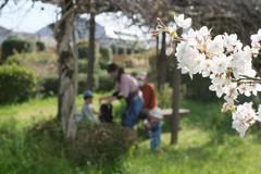 【熊本】桜の写真コンテスト