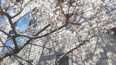 【京都】桜が咲く季節になりました