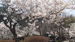 【佐渡】桜の樹の下で