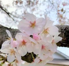 【岡山】桜満開