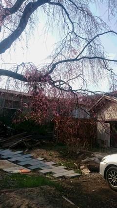 桜がさきました。 ^^) @高崎学習センター